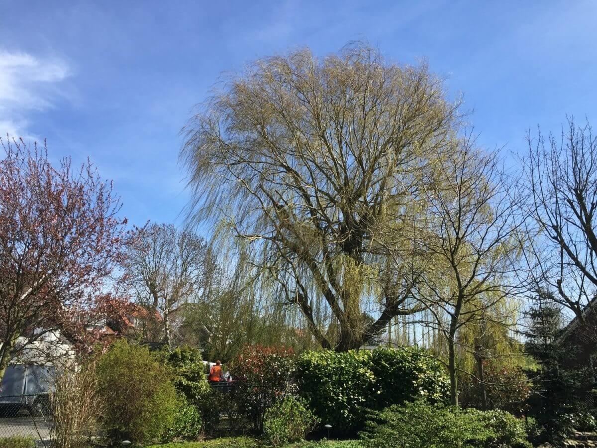 snoeien of kappen hovenier Amsterdam boomverzorger