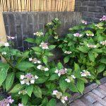 Beplanting tuinaanleg Amstelveen verharding