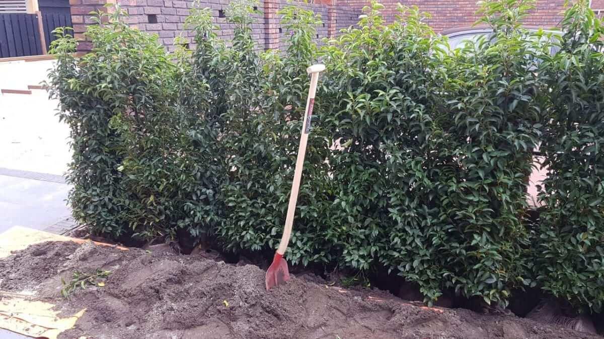 Haag aanplant haarlem hovenier